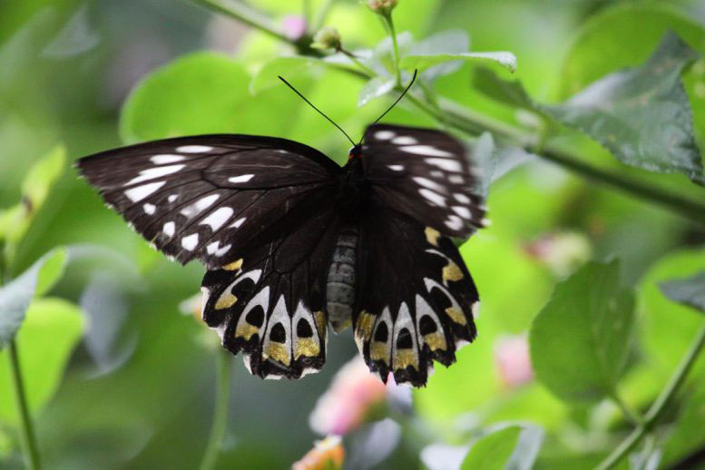 Photo of butterfly at Tamborine Rainforest Skywalk